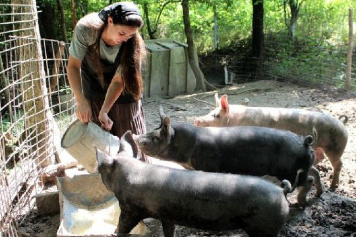 PNL Maramureș: PSD minte din nou: creșterea porcilor în gospodării nu va fi interzisă